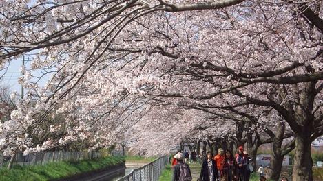 20120408 桜満開
