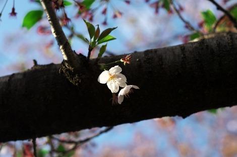 20170415 見沼用水路-桜