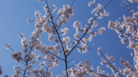20080402 桜