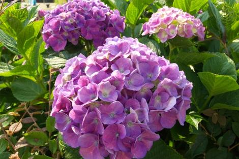 20070608 紫陽花