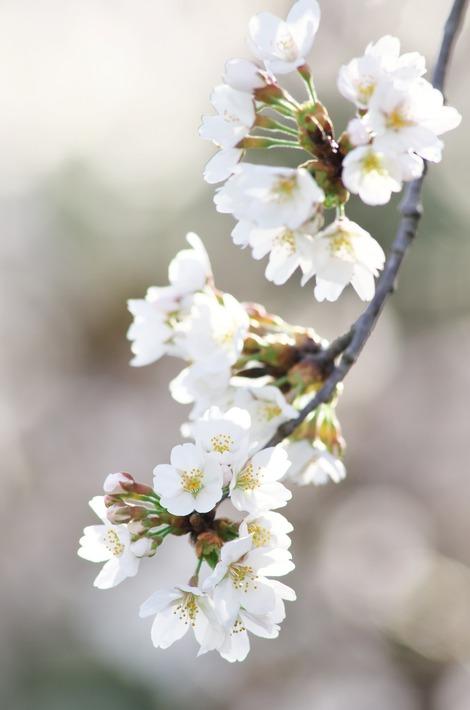20180325 桜1