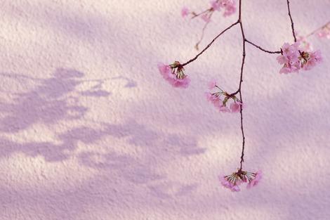 20180317 桜の花の咲く頃に