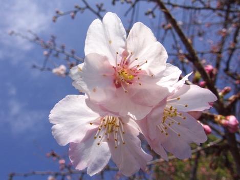 20090307 桜