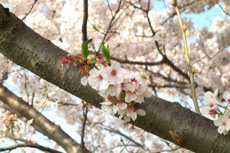 20180329 川沿いの桜5