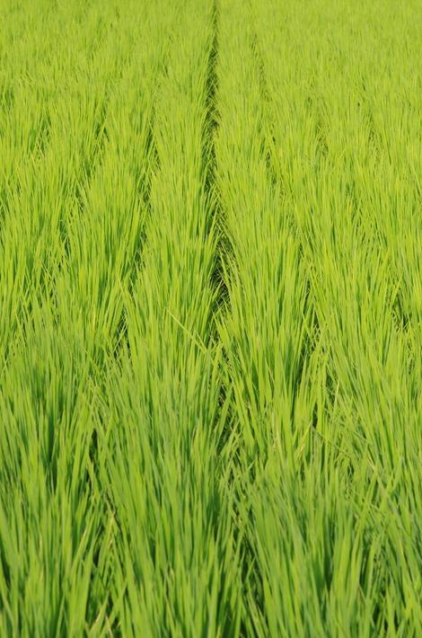 20170722 見沼の稲