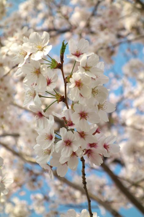 20180329 川沿いの桜6