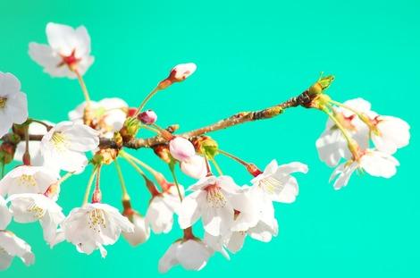 20180325 桜2