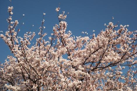 20180329 川沿いの桜7