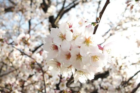 20180329 川沿いの桜1