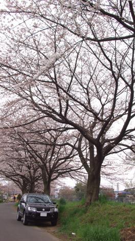 20090404 桜