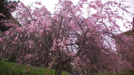 20100410 桜