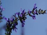 blue-sarubia