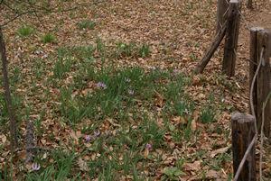 カタクリが咲き始め