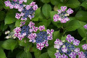 紫陽花2013-3