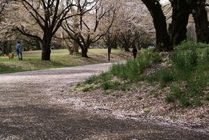 桜の花が散る頃
