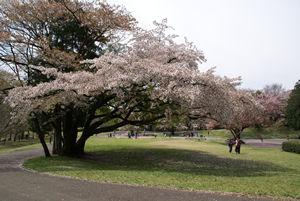 桜の花が散る頃2