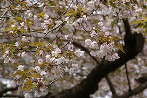 今が満開(2012年の桜)