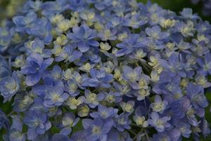 紫陽花2013-4