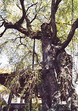 枝垂桜 神宮寺