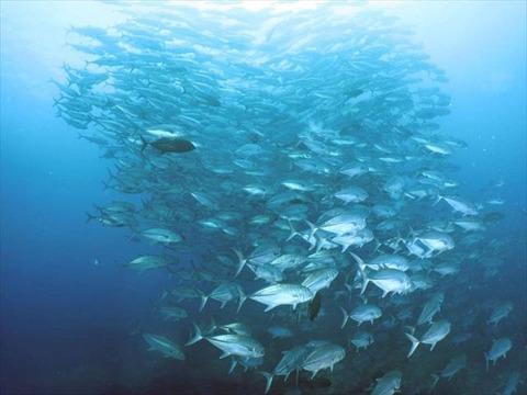アポ島ギンガメ