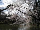 sakura 井の頭公園