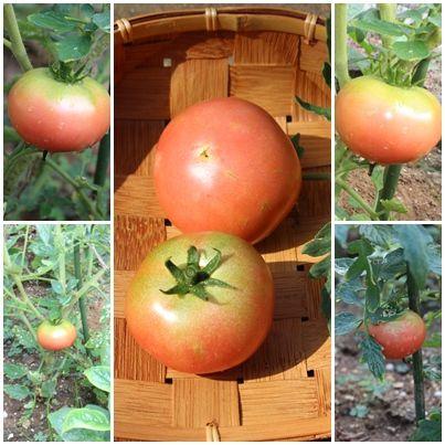 トマト初なり