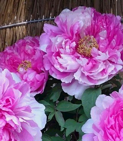 ぼたんの花ピンク