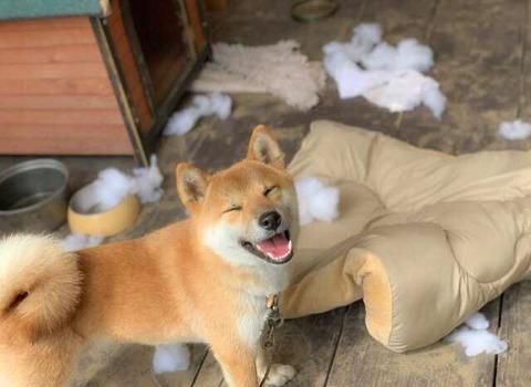 【画像】朝起きたらウチの犬が散らかしてた…どうしよう