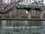 大川の桜とレガッタ