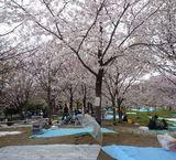 大川の桜傘で場所取
