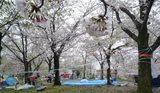 大川の桜と場所取り