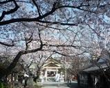 桜ノ宮の桜参道