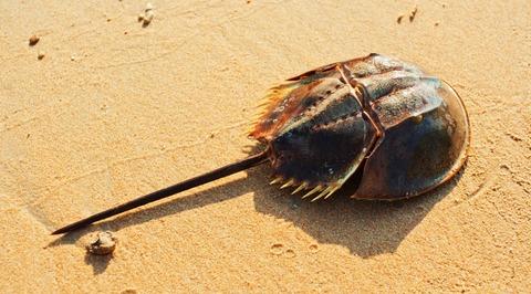 150220_horseshoe-crab-blue-blood-1038x576