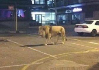 熊本にライオン