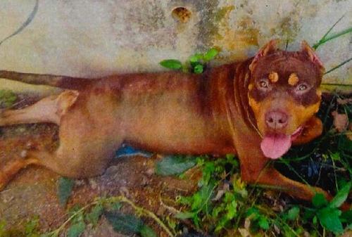 【怖えええええ】沖縄で逃走中の闘犬種ピットブル、まだ見つからず…県警は注意呼びかけ なお狂犬病の予防接種はしていないとの事www