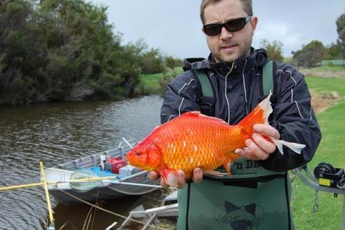 【画像】金魚が野生化するとヤバいと話題にwwwwwwwwwwwww