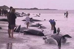 【まさか...】ニュージーランド、クジラ400頭以上が座礁 過去最大最悪の規模