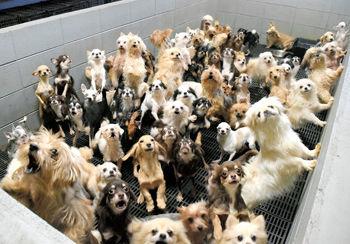 """【福井】「まるで地獄」 """"子犬工場"""" 400匹を過密飼育、刑事告発へ 目を覆うような悲惨な光景、病気や前足切断の個体も"""