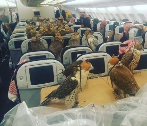 【シュールすぎワロタw】サウジアラビアの王子がペットの鷹80羽を旅客機に乗せ、機内が動物園状態に(写真あり)