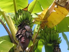 表紙バナナツリー