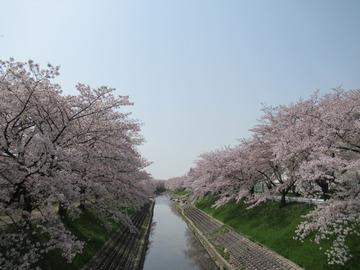 佐保川の桜 20180402