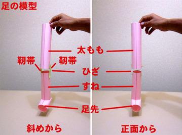 ひざ・・・足の模型