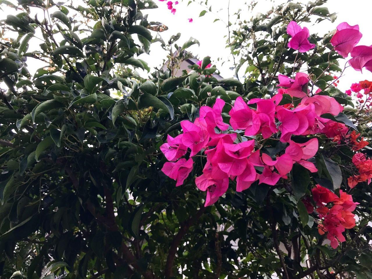 首里のお花