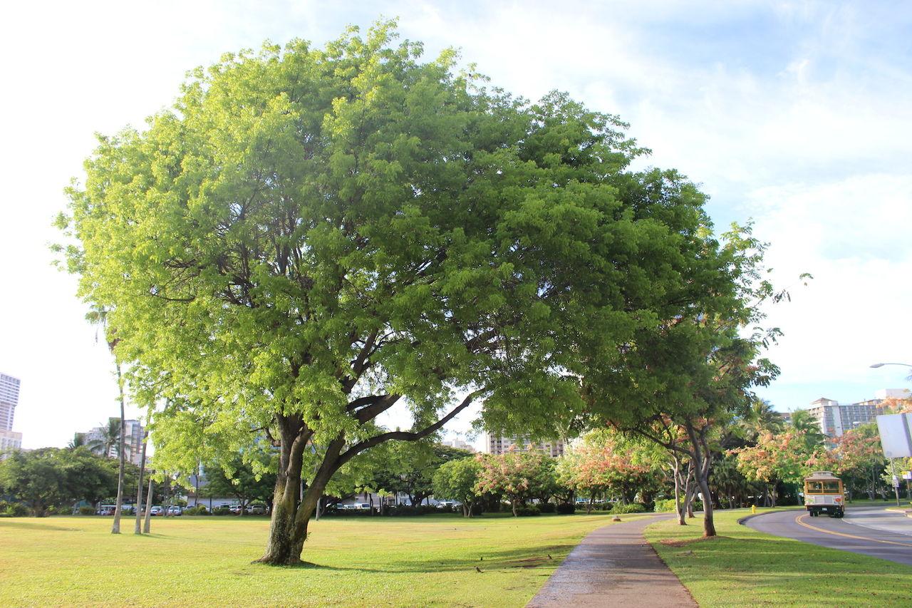 ハワイの木