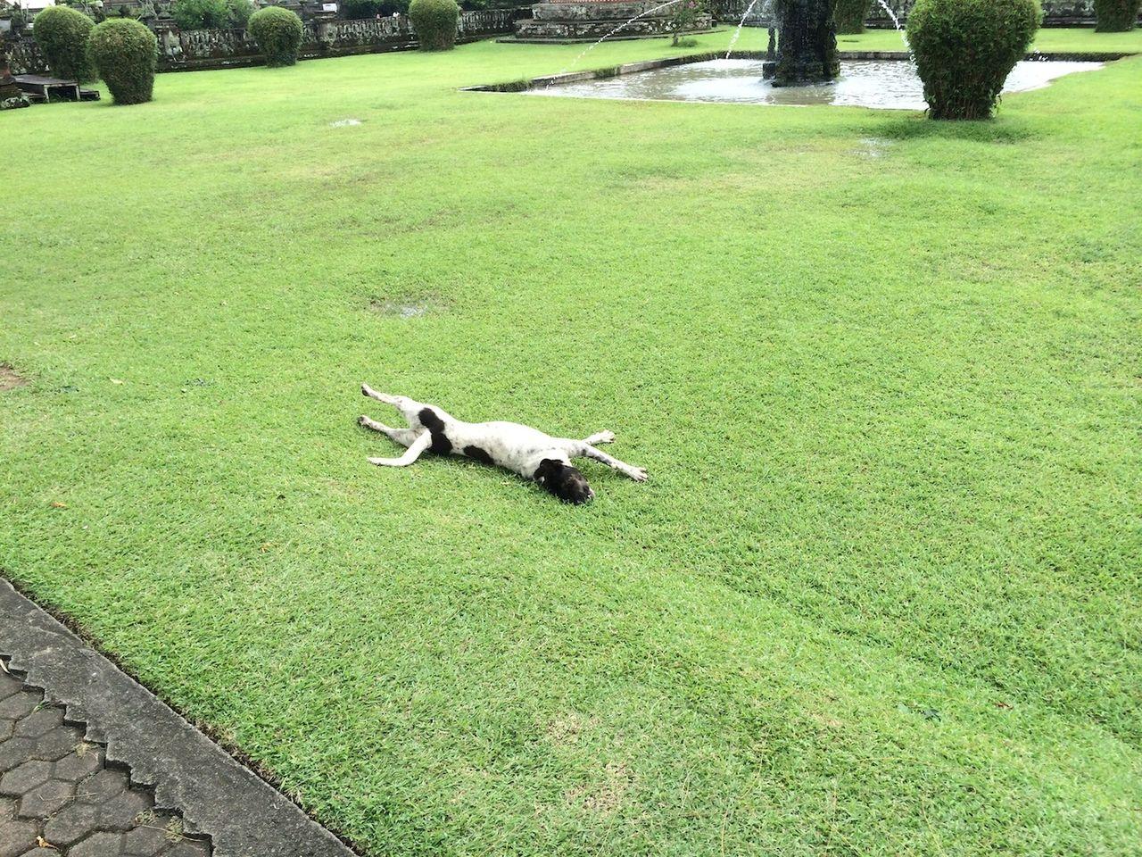バリ島と犬
