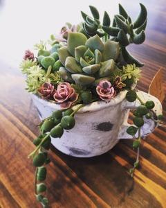 mag succulents