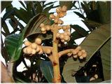 ビワの花芽