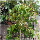鉢植えヤマイモ