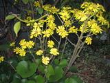 石蕗の花1