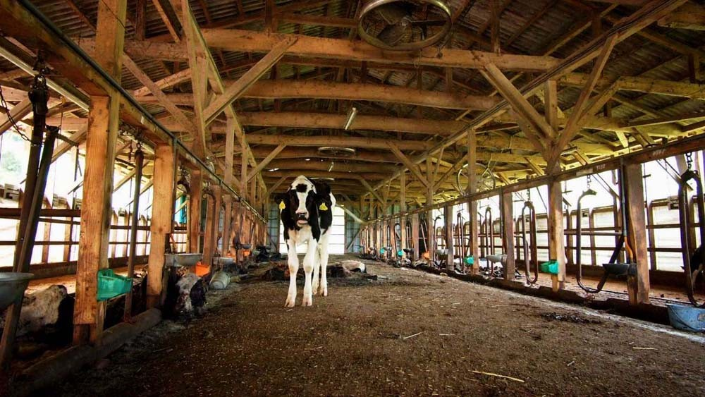 福島原発20キロ圏内の牛